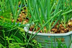 Cebollino生长在被回收的篮子的葱厂 免版税库存照片