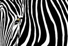 Cebra Imagenes de archivo