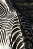 Cebra Imágenes de archivo libres de regalías