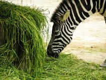 Cebra Foto de archivo libre de regalías