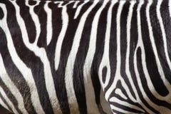Cebra Imagen de archivo