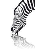 Cebra Foto de archivo