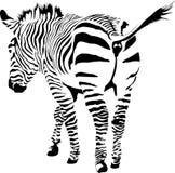 Cebra Imagen de archivo libre de regalías