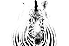 Cebra Fotografía de archivo