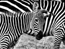 Cebra africana Imágenes de archivo libres de regalías