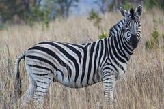 Cebra africana Imagen de archivo libre de regalías