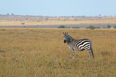 Cebra africana Foto de archivo libre de regalías