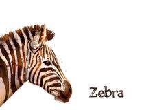 Cebra aislada en la acuarela blanca del vector del fondo Animales del safari de la fauna libre illustration