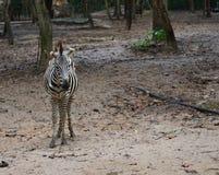 Cebra Animal doméstico animal Mirada standing foto de archivo libre de regalías