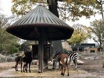 Cebra, antílope y otros ungulates en un alimentador animal de madera fotos de archivo