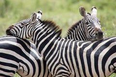 Cebra (burchelli del Equus) Imagen de archivo libre de regalías