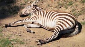 Cebra (cebra de los llanos) que miente en la tierra, durmiendo (estabilizado) metrajes