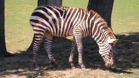 Cebra (cebra) del Equus, hierba de mordisco, pastando, tiro medio, (estabilizado) almacen de video