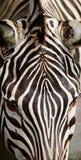 Cebra común Fotografía de archivo libre de regalías