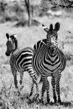 Cebra con el potro lindo, cebra con el bebé, cebra joven con la piel suave en Serengeti, Tanzania, fotografía blanco y negro foto de archivo