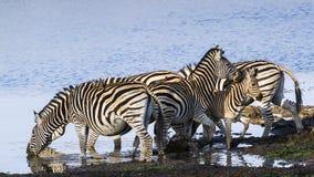 Cebra de Burchell's en el riverbank en el parque nacional de Kruger Imagen de archivo