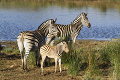 Cebra de Burchell's en el riverbank en el parque nacional de Kruger Fotografía de archivo libre de regalías