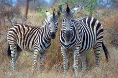 Cebra de Burchells (burchellii del quagga del Equus) Fotografía de archivo libre de regalías