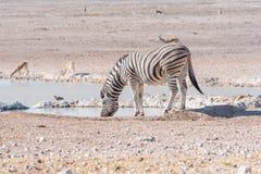 Cebra de Burchells, burchellii del quagga del Equus, agua potable en un wa Fotos de archivo