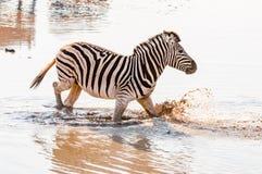 Cebra de Burchells, burchellii del quagga del Equus, caminando en agua fangosa Foto de archivo libre de regalías