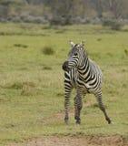 Cebra de Dansing en Tanzania Foto de archivo