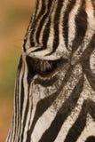 Cebra de Grevy imagenes de archivo