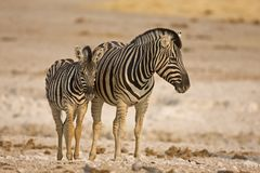 Cebra de la madre y del bebé que se coloca en campo Fotografía de archivo libre de regalías
