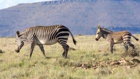 Cebra de la madre y su potro, fotografiados contra un fondo montañoso en el parque nacional de la cebra de montaña, Eastern Cape; Imágenes de archivo libres de regalías