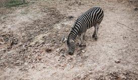 Cebra de la visión superior en el parque zoológico Foto de archivo