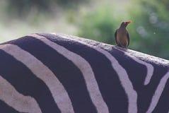 cebra de los andBurchell Rojo-mandados la cuenta de Oxpecker Imagen de archivo