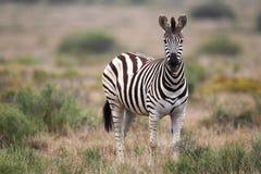 Cebra de los llanos (quagga del Equus) fotografía de archivo libre de regalías