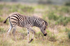 Cebra de los llanos (quagga del Equus) Imagen de archivo