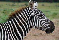 Cebra de Maasai Mara fotografía de archivo libre de regalías