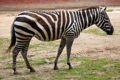 Cebra de Maneless (borensis del quagga del Equus) Fotografía de archivo