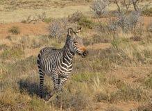 Cebra de montaña del cabo Foto de archivo libre de regalías