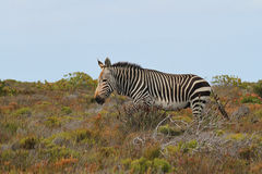 Cebra de montaña del cabo (cebra de la cebra del Equus) Imagen de archivo libre de regalías
