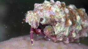 Cebra de Pylopaguropsis del cangrejo de ermitaño de la cebra en el coral del Mar Rojo Sudán metrajes