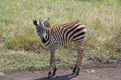 Cebra del bebé en Nairobi, Kenia Fotografía de archivo