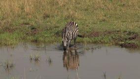 Cebra del ` s de Burchell, burchelli del equus, agua que entra del adulto, Masai Mara Park en Kenia, almacen de video