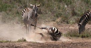 Cebra del ` s de Grant, boehmi del burchelli del equus, adulto que tiene baño del polvo, parque de Nairobi en Kenia, metrajes