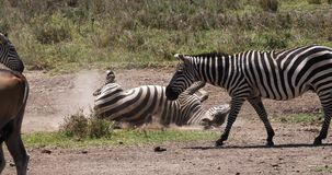 Cebra del ` s de Grant, boehmi del burchelli del equus, adulto que tiene baño del polvo, parque de Nairobi en Kenia, almacen de metraje de vídeo