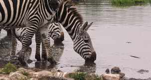Cebra del ` s de Grant, boehmi del burchelli del equus, grupo en Waterhole, parque de Nairobi en Kenia, almacen de metraje de vídeo