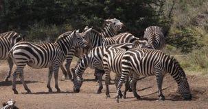 Cebra del ` s de Grant, boehmi del burchelli del equus, manada en el parque de Nairobi en Kenia, metrajes
