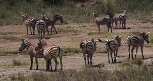 Cebra del ` s de Grant, boehmi del burchelli del equus, manada en el parque de Nairobi en Kenia, almacen de video