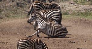 Cebra del ` s de Grant, boehmi del burchelli del equus, manada en el parque de Nairobi en Kenia, almacen de metraje de vídeo