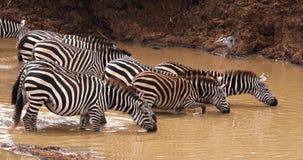 Cebra del ` s de Grant, boehmi del burchelli del equus, manada en el waterhole, parque de Nairobi en Kenia, metrajes