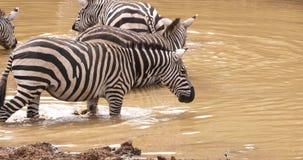 Cebra del ` s de Grant, boehmi del burchelli del equus, manada en el waterhole, parque de Nairobi en Kenia, almacen de video