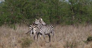 Cebra del ` s de Grant, boehmi del burchelli del equus, preparando, parque de Nairobi en Kenia, metrajes