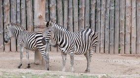 Cebra del ` s del buhonero Gama geográfica: todos los hábitats en África a excepción de selvas tropicales, de desiertos, y de bos almacen de metraje de vídeo