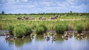 Cebra egipcia del ganso y de los llanos en el parque nacional de Kruger, A del sur Foto de archivo